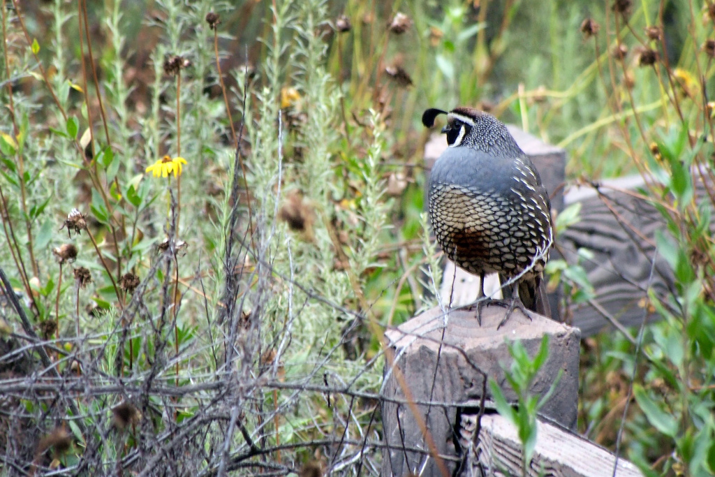 Among the woodpeckers, towhees and finches at Eaton Canyon, a California Quail was seen roosting on a fence.
