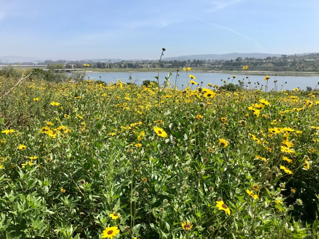 A sea of bush sunflowers above Upper Newport Bay.