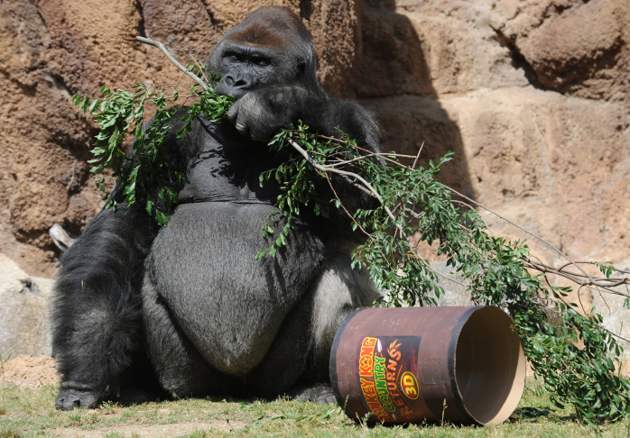 Silverback gorilla Kelly, 26, at the Los Angeles Zoo's Campo Gorilla Reserve renamed Donkey Kong Country for the Memorial day weekend.