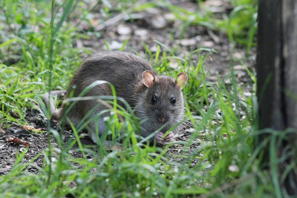 Image of a rat in the wild.