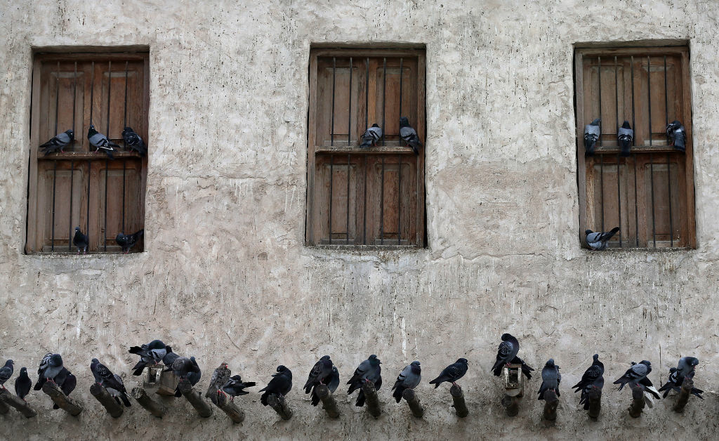 Pigeons perch on the window sills and wooden struts on a traditional building.