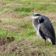 Blue Heron, Theler Wetlands, Belfair, WA.
