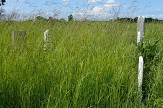 "A cemetery in Ohio contains a fragment of ""big blue stem"" prairie. At the time of the Lewis & Clark expedition, these tall grasses rolled across much of the nation's undeveloped midsection."