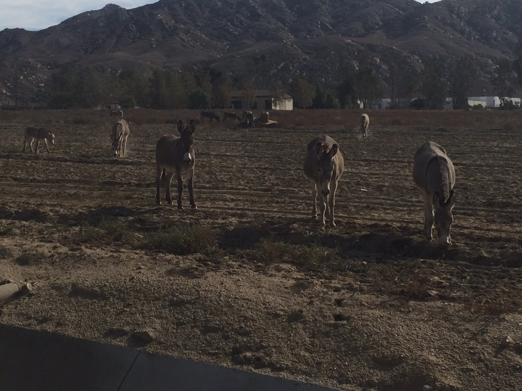 File: Wild burros graze in Riverside County.