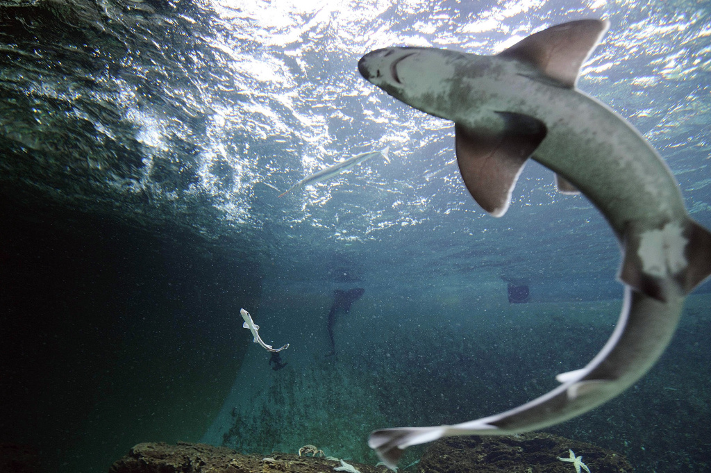 A picture taken on April 5, 2013 shows a smooth-hound shark (L) with an adult female (foreground, R) in the aquarium of Talmont-Saint-Hilaire, western France. Smooth-hound sharks are one of several species common to the Southern California coast.