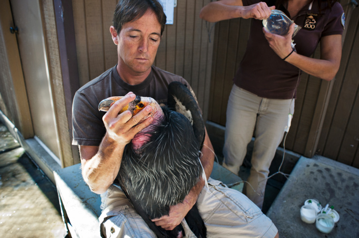 Michael Clark, an animal keeper at the Los Angeles Zoo, holds a California condor as it is treated for lead poisoning. In the last month, 21 birds have been treated at the zoo.