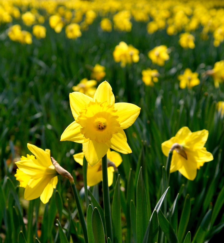A field of daffodils.