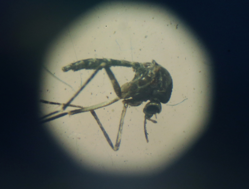An Aedes aegypti mosquito seen through a microscope at en exhibition on Dengue fever on January 28, 2016 in Recife, Pernambuco state, Brazil.