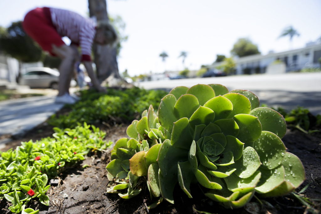 "A woman works among drought-tolerant plants in her front yard in this Wednesday, July 9, 2014, file photo taken in San Diego. ""Cash for grass"" programs encourage customers to replace thirsty grass lawns with drought-tolerant plants. They aren't new, but the The Metropolitan Water District calls the recent level of interest in its program ""unprecedented."""