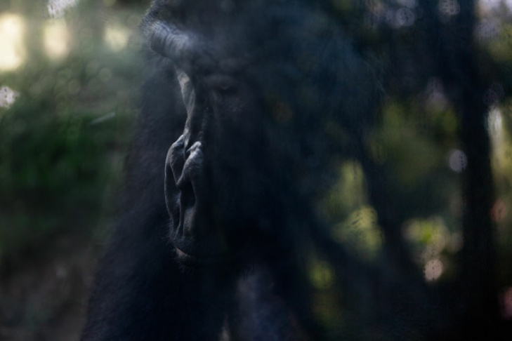 This western lowland gorilla lives at the Los Angeles Zoo. Zoobiquity, a new book by Dr. Barbara Natterson-Horowitz, suggests that humans and animals share some of the same diseases and behavioral traits.