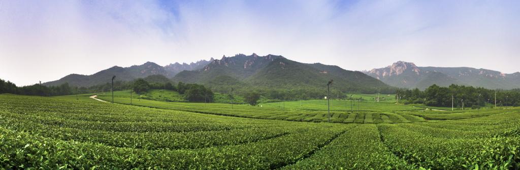 2013, Green tea fields in Wolchul Mountain, South Korea.