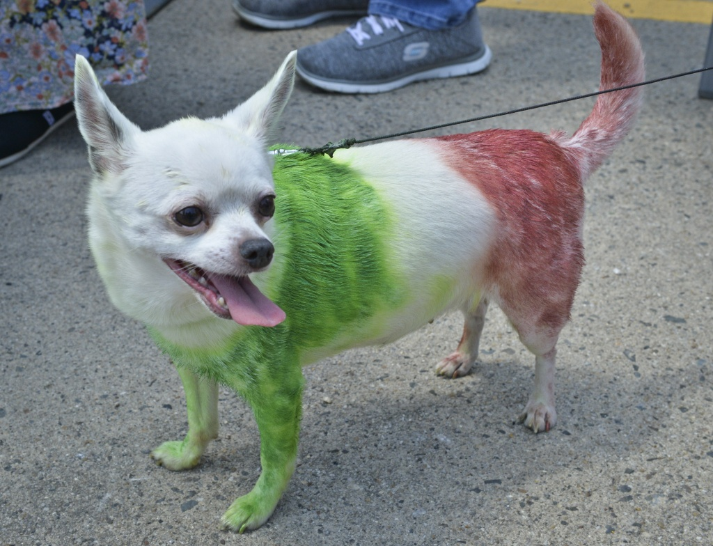 A chihuahua, painted in the national colors of Mexico, poses during the Running of the Chihuahuas in Washington, DC on May 3, 2015. The annual event marks Cinco de Mayo, which is celebrated on May 5th.