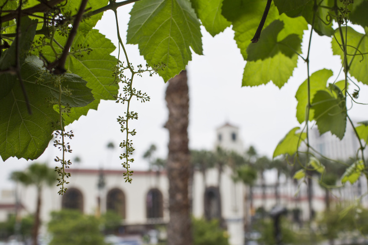 The oldest grape vines in California, which may be more than 150 years old, are located at the Avila Adobe on Olvera Street near Union Station. City Archivist Mike Holland has now made wine from the grapes.