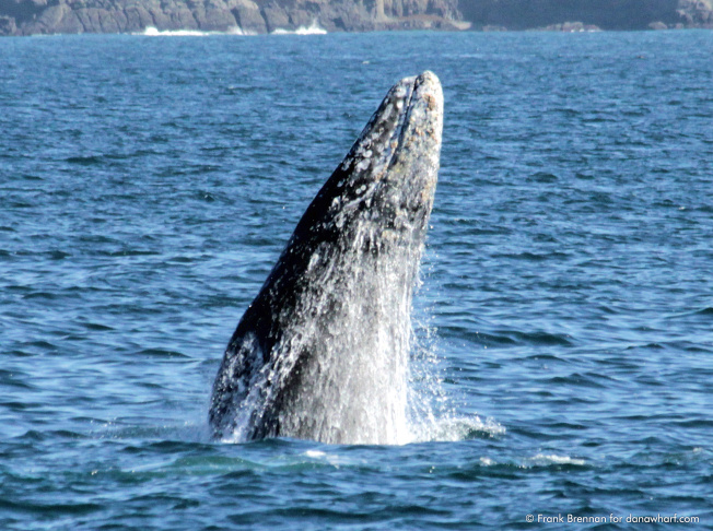 A California Gray Whale pops out of the water near Dana Point.