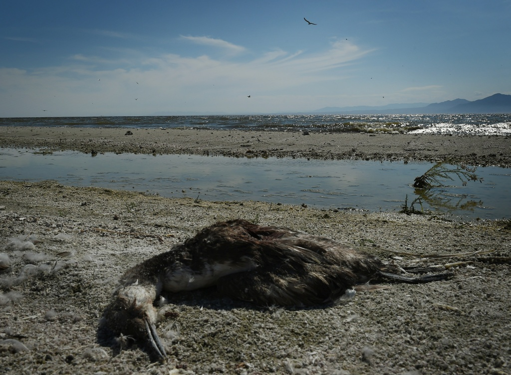 A dead bird lies on the shore next to the North Shore Yacht Club at the Salton Sea, California on March 19, 2015. California's largest lake is facing major environmental problems with a decreasing water level, increasing salinity and algae issues.