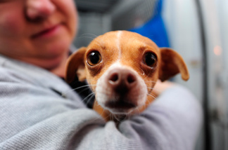 A handler holds one of 58 homeless Chihuahuas and small mixed breed dogs from Los Angeles which are being flown to Edmonton, Canada for adoption as part of the Society for the Prevention of Cruelty to Animals Los Angeles (spcaLA) 'Air Chihuahua program,' at an airport in Long Beach, California February 11, 2011.