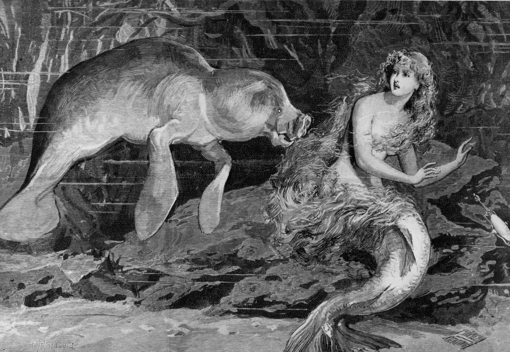 File: A mermaid is startled by a manatee or sea cow in this image from 1889. The manatee has long been thought to have inspired the stories of mermaid sightings.  A newspaper illustration by Masquoid.