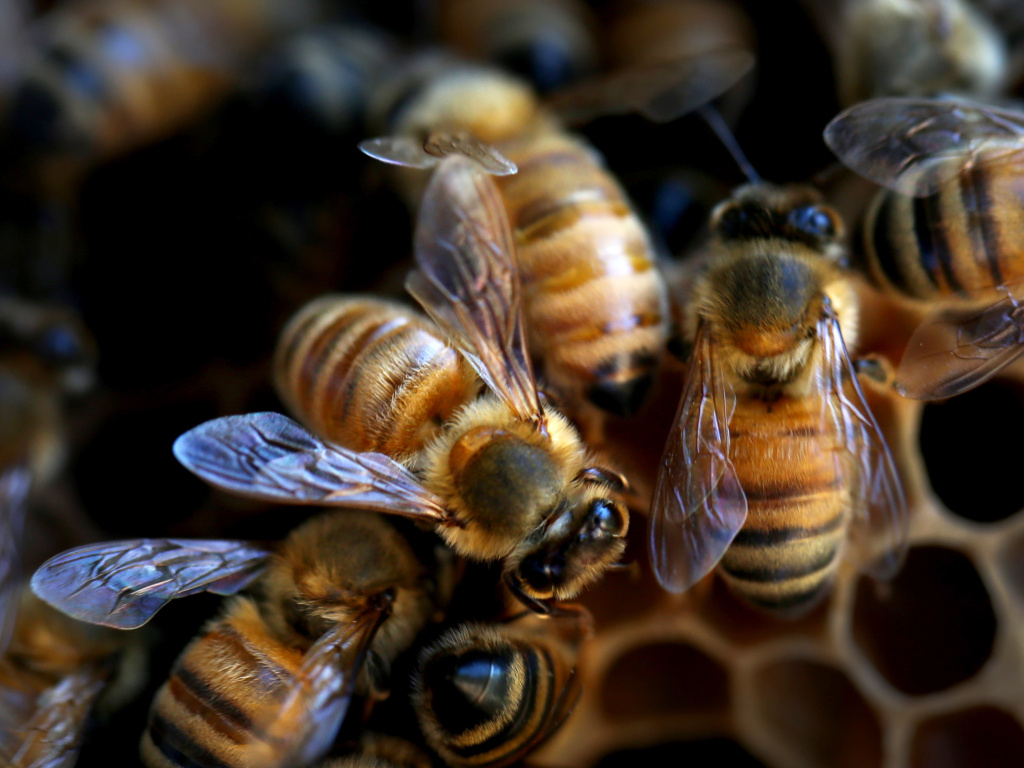 Bees are seen on a honeycomb cell at the BEE Lab hives at the University of Sydney on May 18, 2021. The U.N. has designated May 20 as World Bee Day.