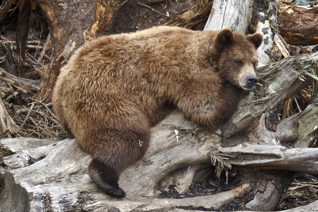 Bears can eat like pigs, hibernate for months and still be healthy. This seems so unfair.