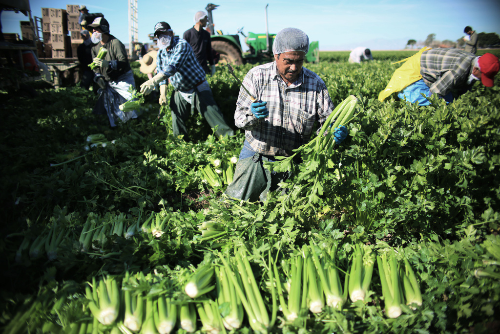 Farm workers harvest celery in a field of Brawley, California, in the Imperial Valley, on January 31, 2017.