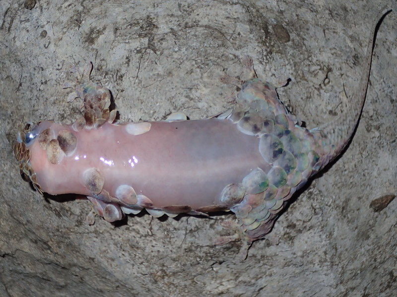 This Geckolepis megalepis has lost some of its scales, but can grow them back within two to three weeks.