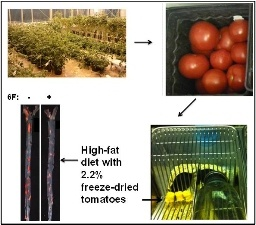 Growing and harvesting genetically engineered tomatoes. Less inflammation and plaque build-up was found in the arteries of mice that were fed the study tomatoes in freeze-dried, ground form.