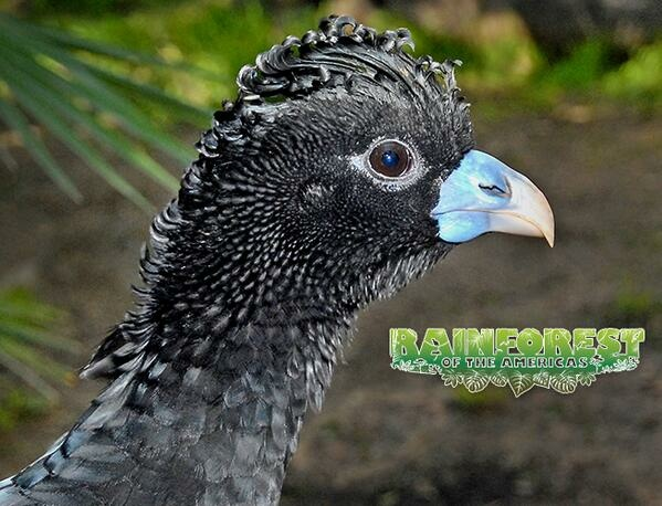 A blue-billed curassow is part of the Rainforest of the Americas exhibit at the Los Angeles Zoo.
