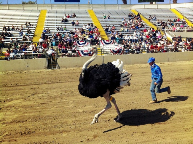 A jockey with Hedrick Exotic Animal Farms chases after his ostrich during a show at the Riverside County Fair. The fairgrounds hosts ostrich races, as well as camel and zebra races, daily through Feb. 24.