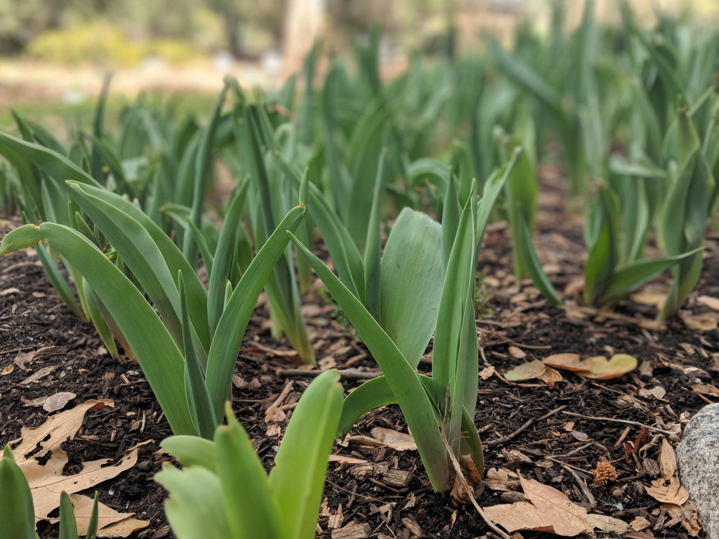 Tulips at Descanso Gardens are popping out of the soil, reaching upwards of a foot in mid-February 2018 because of warmer temperatures. They should have only been 1-2 inches at this time of year.