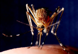 The Zika virus is spread by mosquitoes. While symptoms are mild, some researchers believe the virus puts unborn children at risk if their mothers are exposed while pregnant.