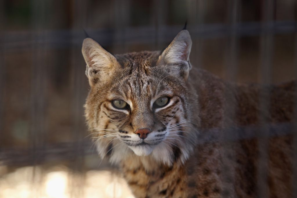 California Fish and Wildlife officials have killed a bobcat that attacked a woman as she sat on bench at a resort in Solvang.