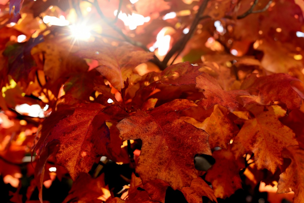 Sun shines through leaves in autumnal colors on October 11, 2015 in Essen, western Germany.