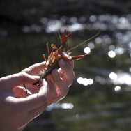 Crayfish are an invasive species in Southern California's freshwater streams and creeks, and may outcompete native fauna if left unchecked.