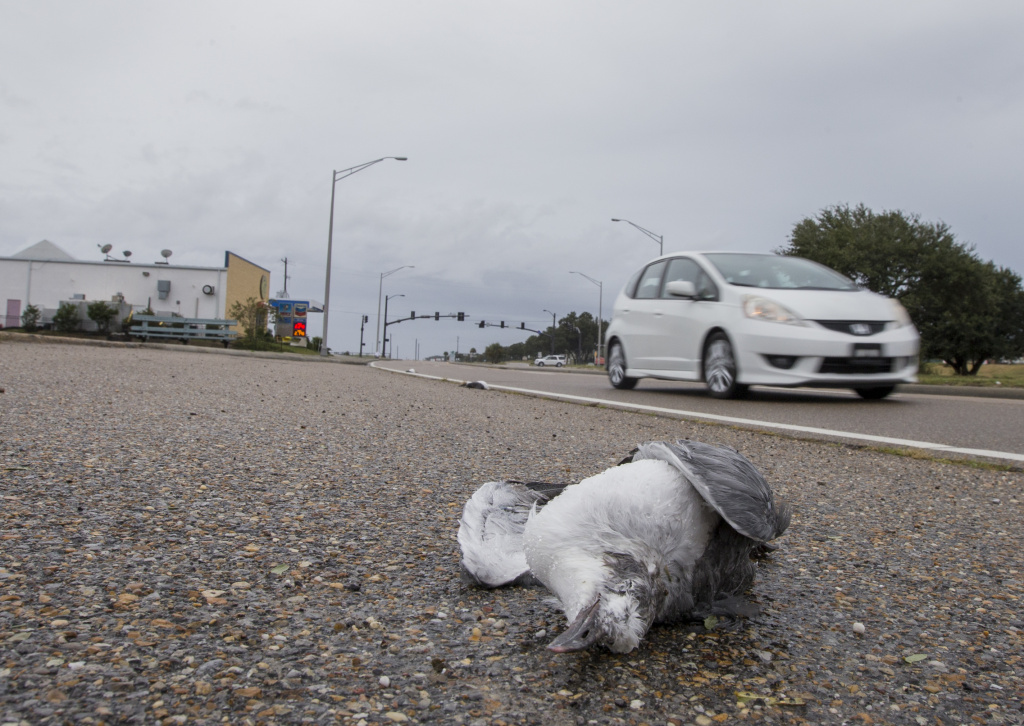 Dead sea gulls lay across Route 90 in Pass Christian, Mississippi as people finish their final preparations before the arrival of Hurricane Nate on Saturday, October 7, 2017.