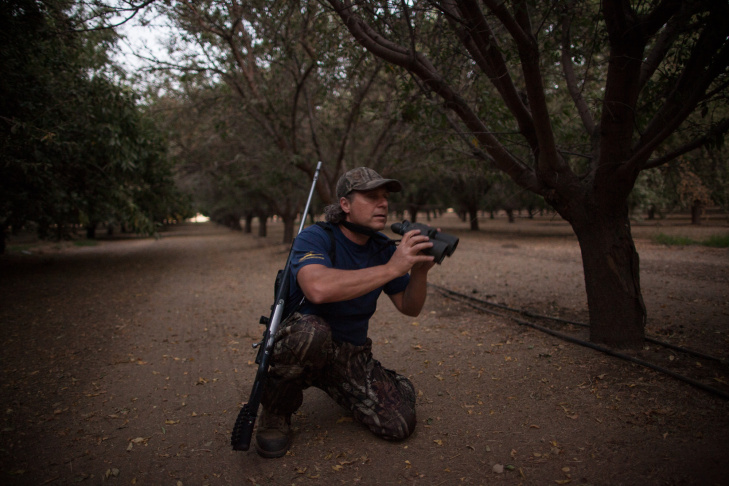 Erez looks for wild pigs in an almond orchard outside of Bakersfield, Calif. The owner of the orchard has a permit to kill wild pigs since the animals have been eating and destroying his crops.