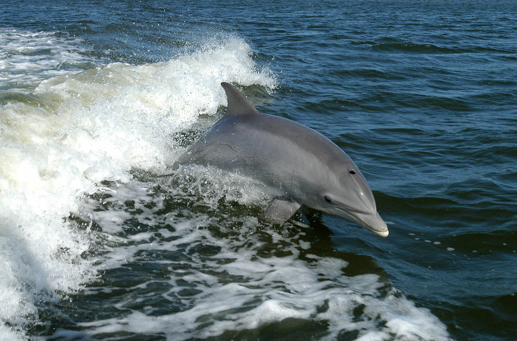 A bottlenose dolphin surfaces from the ocean.
