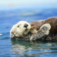 A five-year-old female Russian sea otter