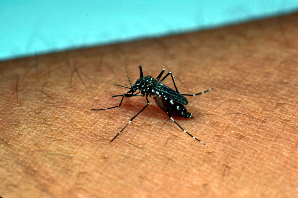 Yellow Fever Mosquitoes Aedes aegypti