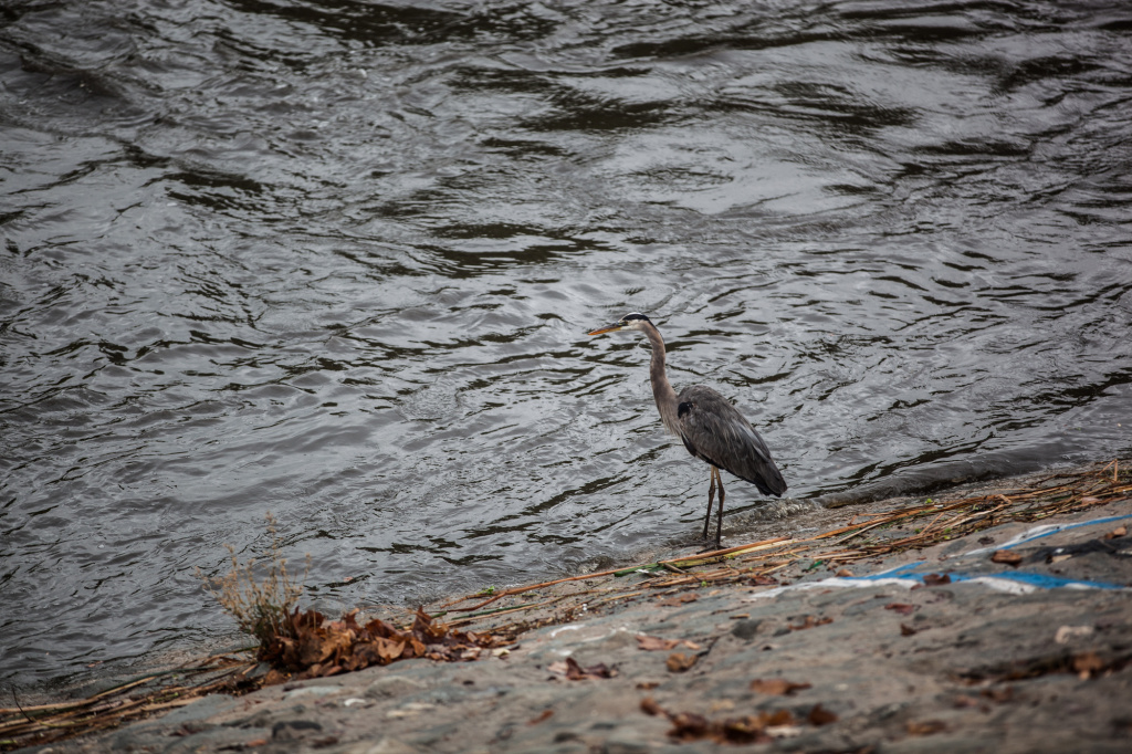 A great blue heron lands near the banks of the LA River just after a morning of rainfall on November 21.