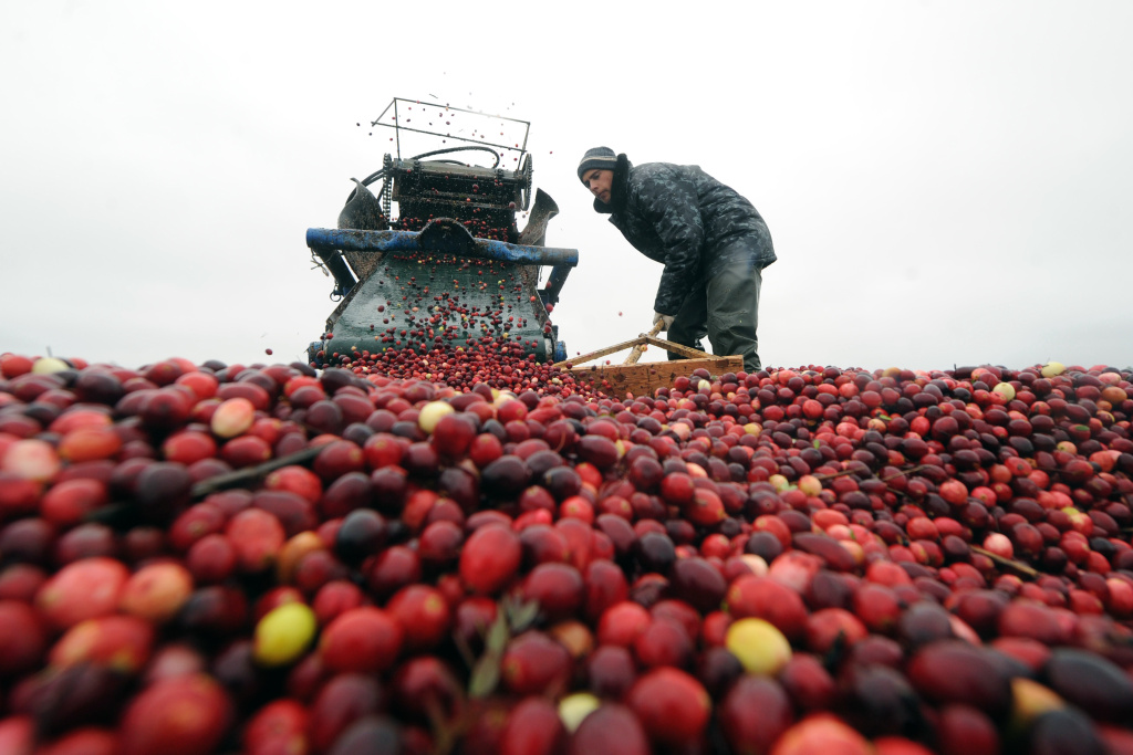 Cranberries being harvested.