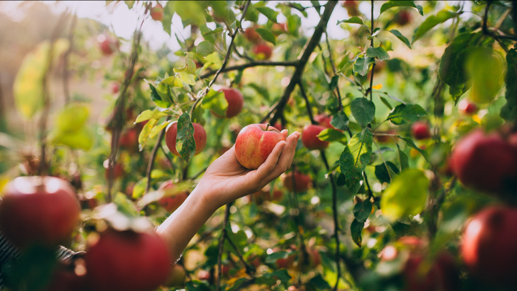 woman hand picking an apple; Shutterstock ID 494404426; Purchase Order: wabc