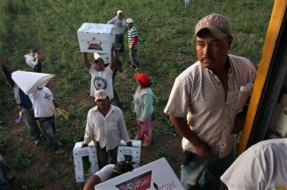 Migrant farm workers from Mexico harvest organic spinach while working at the Grant Family Farms.
