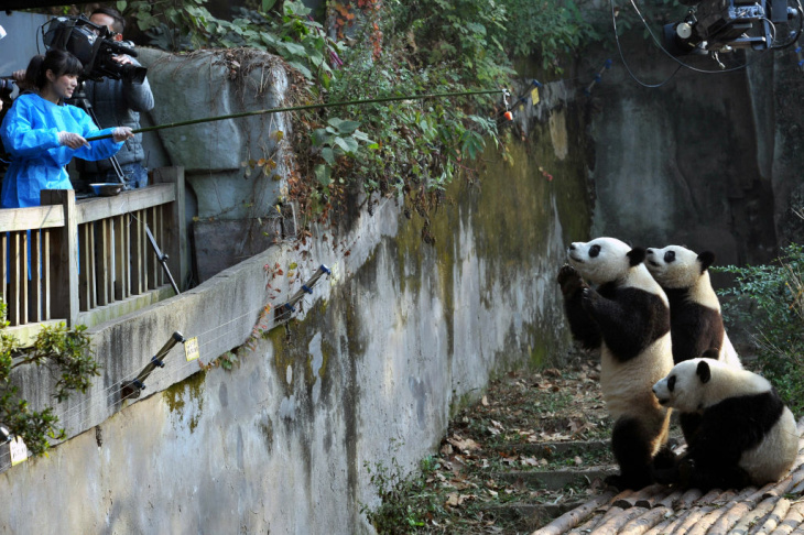 This picture taken on October 30, 2012 shows two giant pandas having their meal in their new home in the Wolong National Nature Reserve in Wolong, southwest China's Sichuan province. The first 18 giant pandas returned to their new home in the newly reconstructed China Giant Panda Protection and Research Center Base after it was damaged in the 2008 Sichuan earthquake.