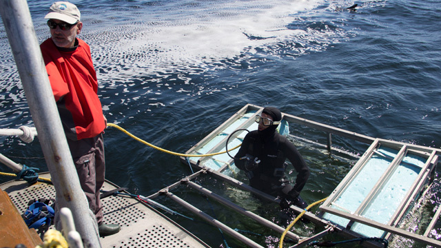 Bruce Watkins of Great White Adventures makes sure it's safe for a diver to get out of the great white shark viewing cage.