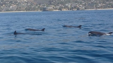 False Killer Whales were spotted today off the coast of Dana Point, Calif., by boaters on the Dana Pride ship operated by Dana Wharf Sportfishing and Whale Watching.
