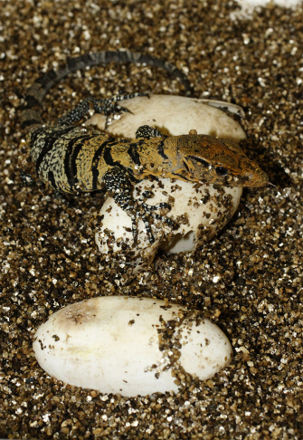 Los Angeles Zoo officials said Monday, June 15, 2015, they had hatched three rare Gray's monitor lizards and believe the births give their institution the distinction of being only the second facility in the Western Hemisphere to hatch the species.