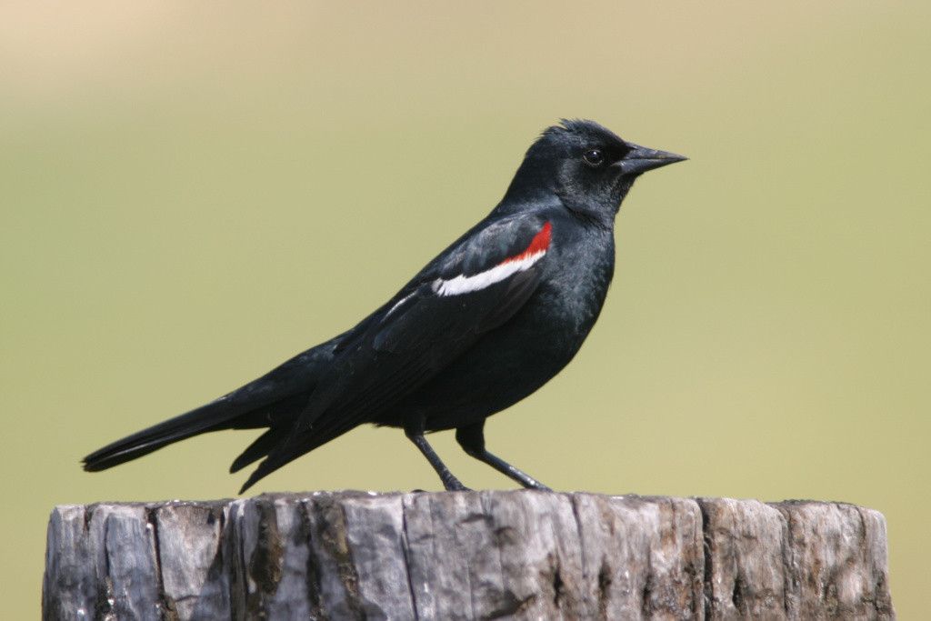 The tricolored blackbird, which is native to California.