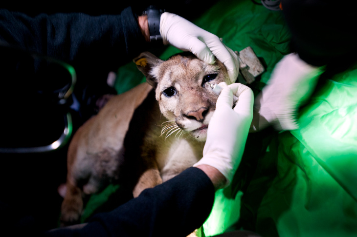 Mountain Lions - 1