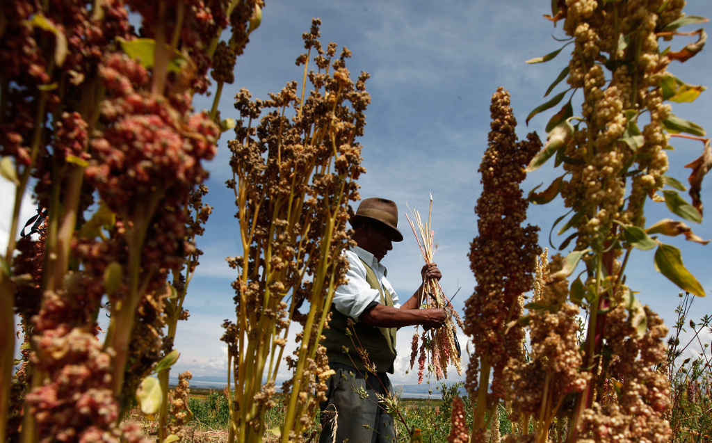 A Bolivian farmer harvests organic quinoa in his fields in Puerto Perez, Bolivia. Some researchers are working quinoa farmers in Bolivia and Peruto try and develop internal markets for threatened varieties — for example, in hospital and school feeding programs.
