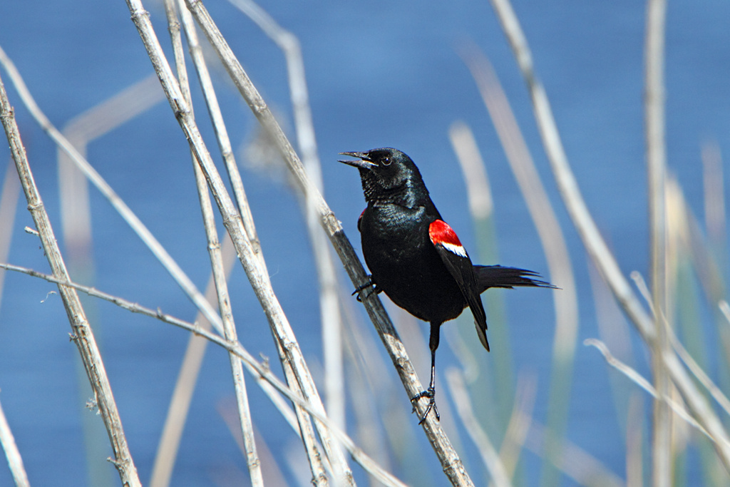 Tricolored blackbirds are among the species further threatened by California's drought and water management policies, says one prominent scientist at UC Davis.